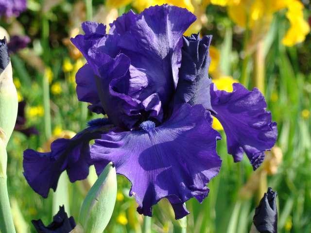 Les iris -culture, multiplication, entretien, variétés. Dsc01112
