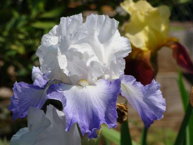 Les iris -culture, multiplication, entretien, variétés. Dsc01113