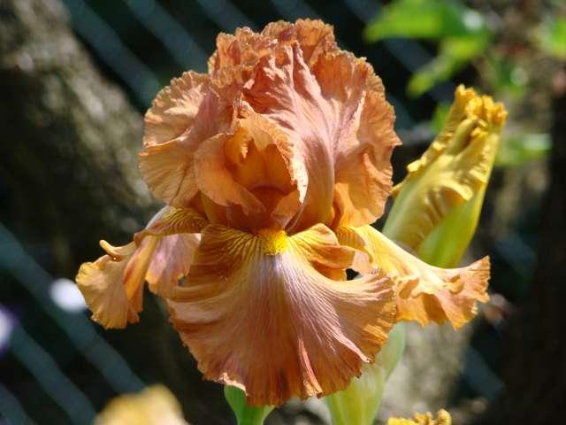 Les iris -culture, multiplication, entretien, variétés. Dsc01114