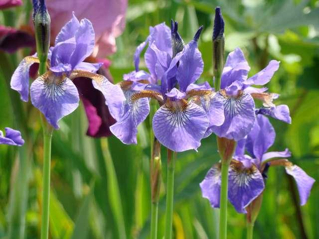 Les iris -culture, multiplication, entretien, variétés. Dsc01115