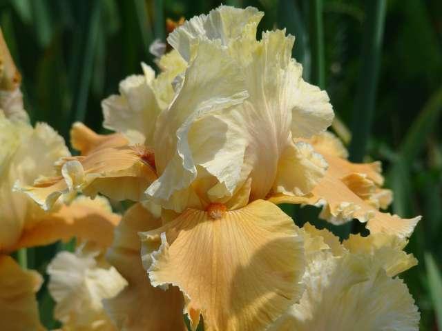 Les iris -culture, multiplication, entretien, variétés. Dsc01117