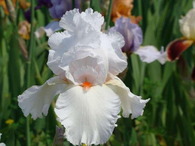 Les iris -culture, multiplication, entretien, variétés. Dsc01118