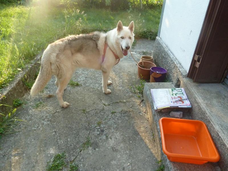 GROSSE URGENCE MIEM chienne X HUSKY 16 ans PAR:81    DECEDEE P1040311