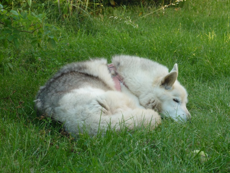 GROSSE URGENCE MIEM chienne X HUSKY 16 ans PAR:81    DECEDEE P1040312
