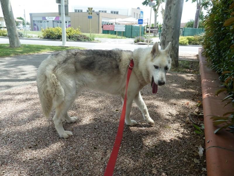 GROSSE URGENCE MIEM chienne X HUSKY 16 ans PAR:81    DECEDEE P1040316