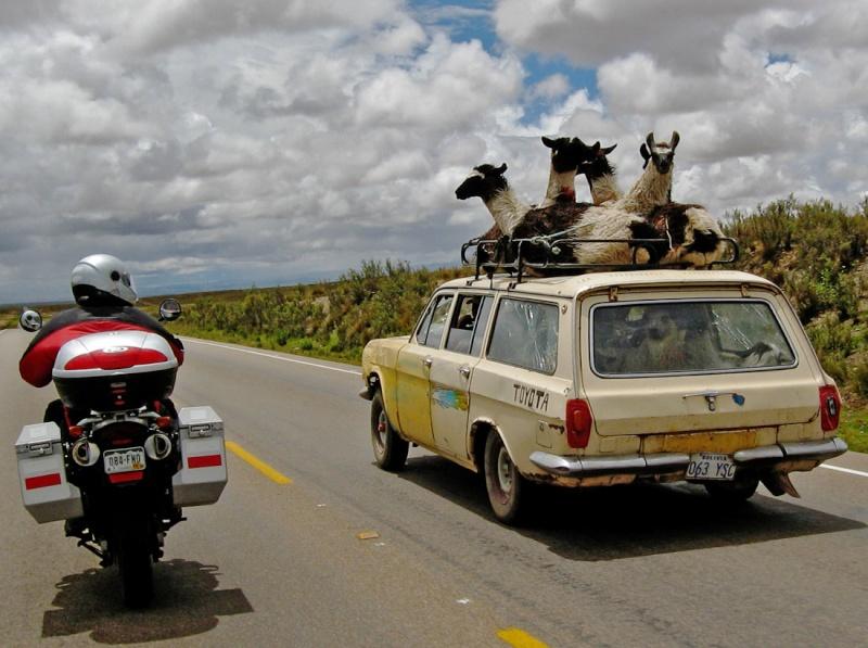 Transport de lamas.... Llama_10