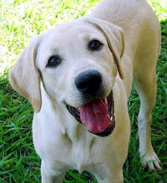 Labrador retriever Labrad10