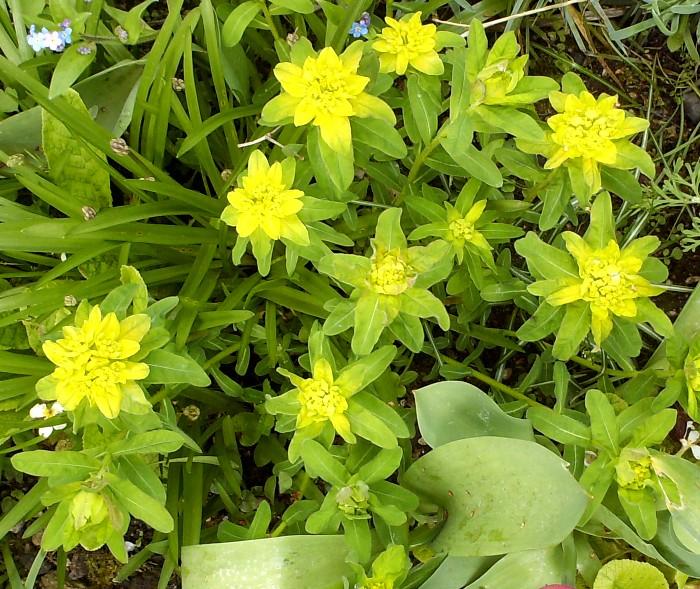 Euphorbia polychroma Hpim5814