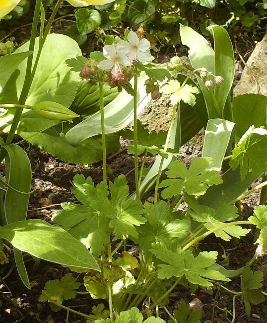 Geranium macrorrhizum 'Spessart' Hpim6014