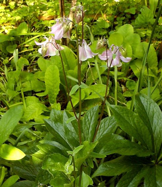 Aquilegia vulgaris Hpim6210