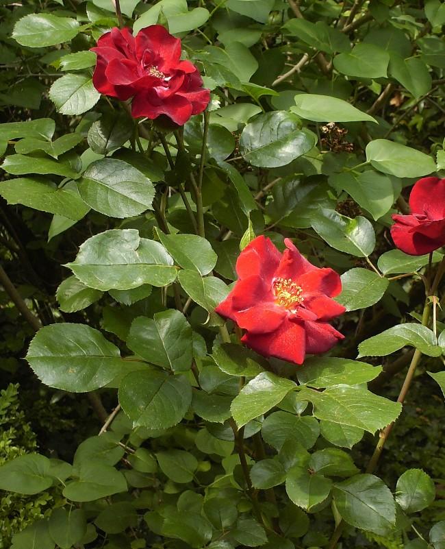 Mes rosiers Hpim6212