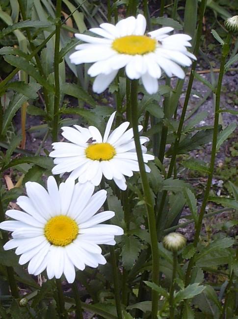 Leucanthemum vulgare 'Reine de Mai' - Marguerite Hpim6310