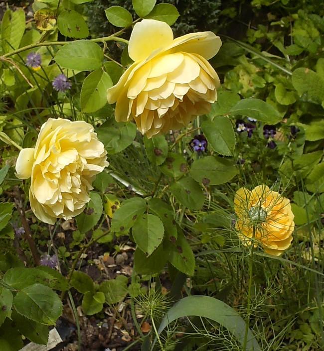 Mes rosiers Hpim6415