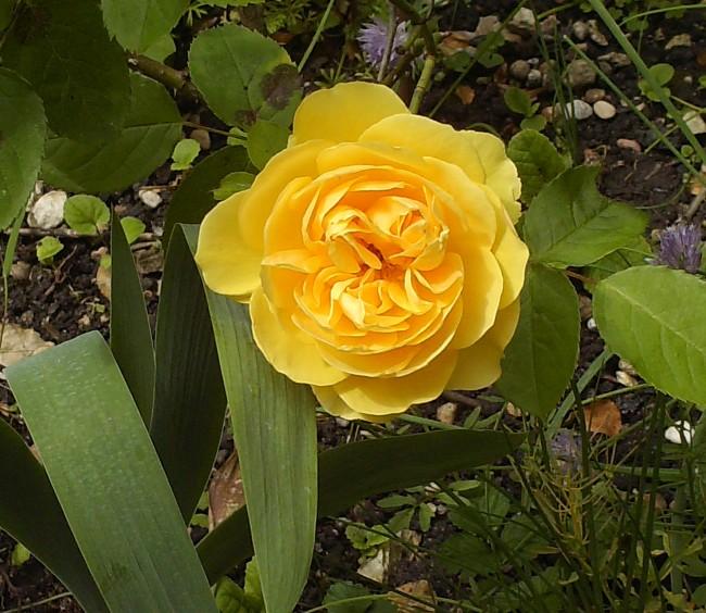 Mes rosiers Hpim6416