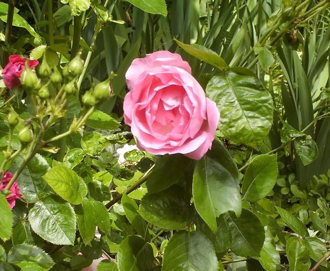 Mes rosiers Hpim6417