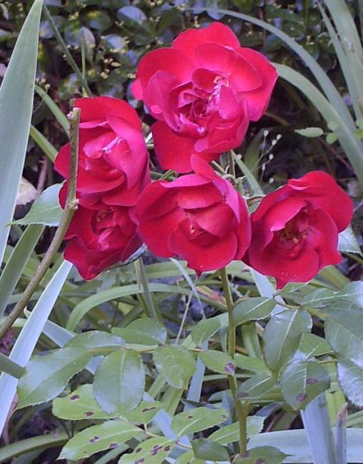 Mes rosiers Hpim7012