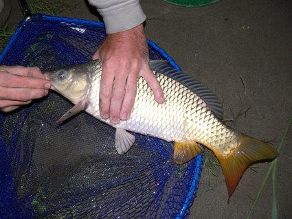 Pêche 100% sauvage sur le grand Rhône, Carpe_10