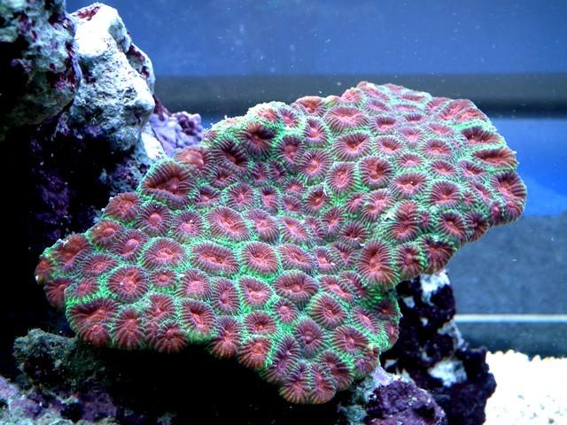 Lancement de mon premier aquarium marin - Page 8 Calo310