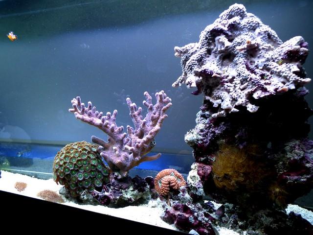 Lancement de mon premier aquarium marin - Page 8 Calo510