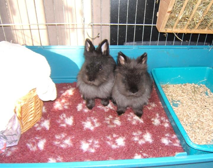RP - Millie et Tatoo, couple de lapins nains Dscf7711