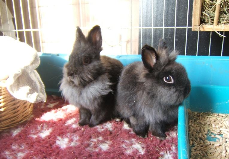 RP - Millie et Tatoo, couple de lapins nains Dscf7712