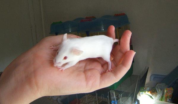 Plein de petites souris à l'adoption ! Petits15