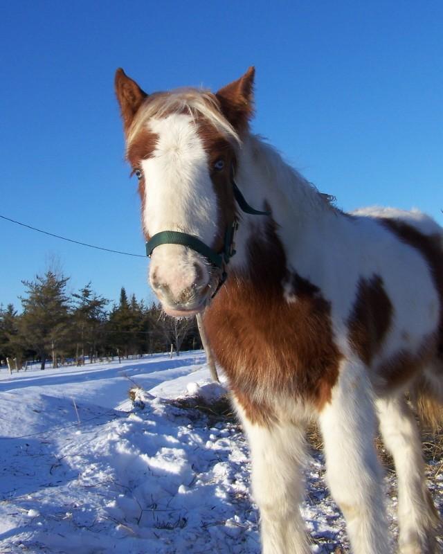 Gypsies et clydes dans la neige ...au québec !!! (new p3) 100_8311