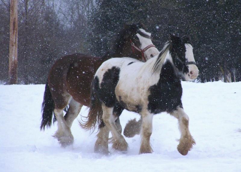 Gypsies et clydes dans la neige ...au québec !!! (new p3) 100_8422
