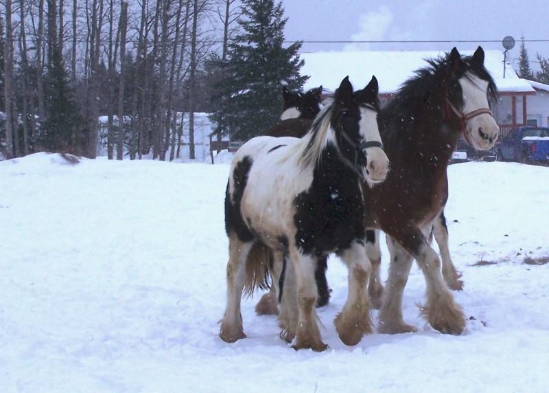 Gypsies et clydes dans la neige ...au québec !!! (new p3) 100_8423