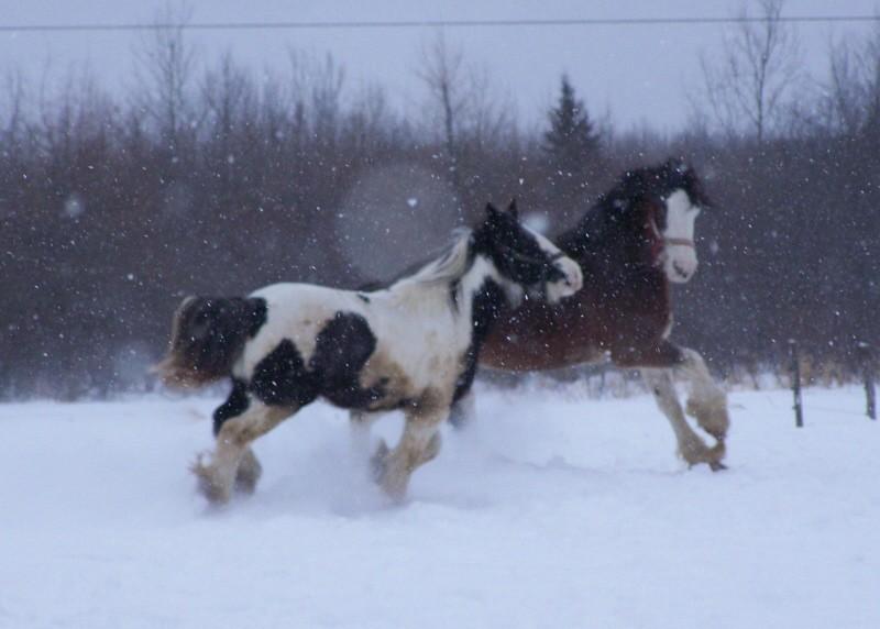 Gypsies et clydes dans la neige ...au québec !!! (new p3) Buff_a10
