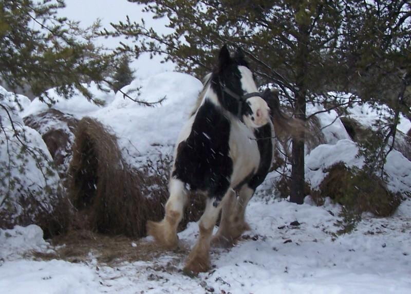 Gypsies et clydes dans la neige ...au québec !!! (new p3) Tail_u10