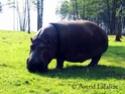 L'alphabet en images (animaux) Hippo010