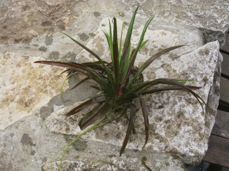 Stratoites  aloides   ou    surnom       cactus d'eau Img_3311