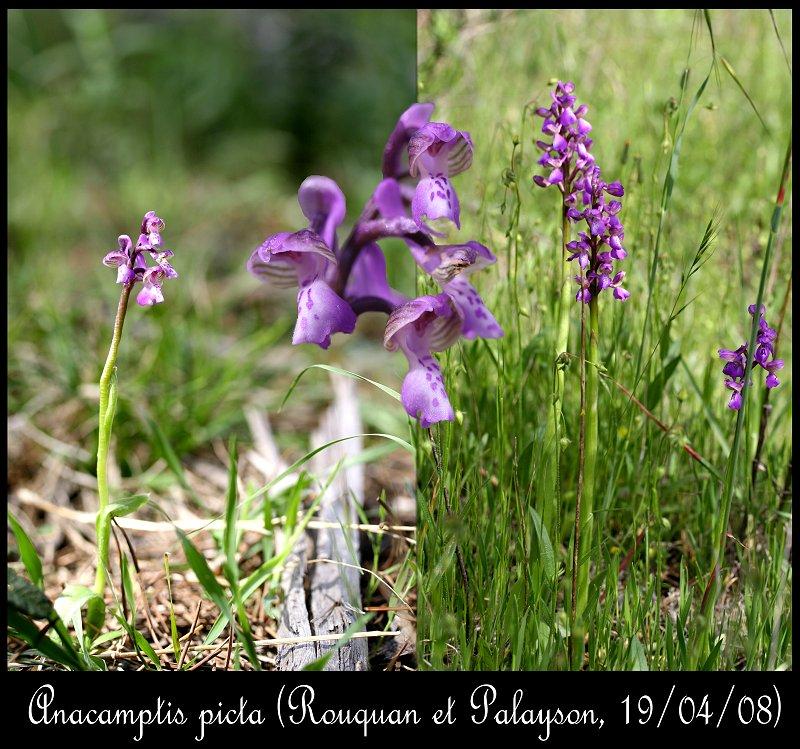Anacamptis morio subsp. picta ( Orchis peint ) Anacam10