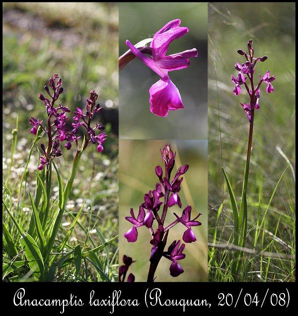 Anacamptis laxiflora ( Orchis à fleurs lâches ) Anacam11