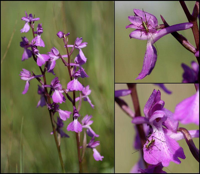 Anacamptis palustris ( Orchis des marais ) Anacam13