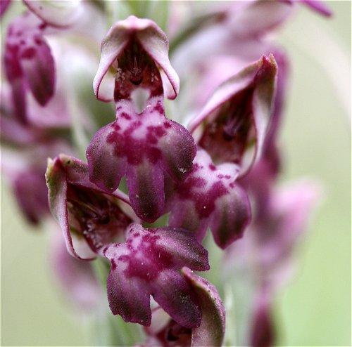 Pollinisation de Anacamptis coriophora ssp. fragrans Coriop11