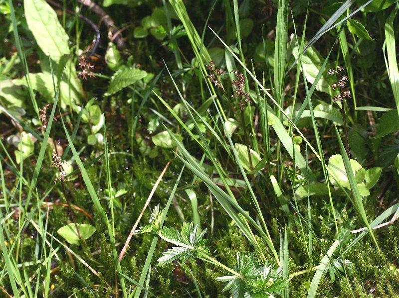 Neottia cordata (Listère cordée) Lister15