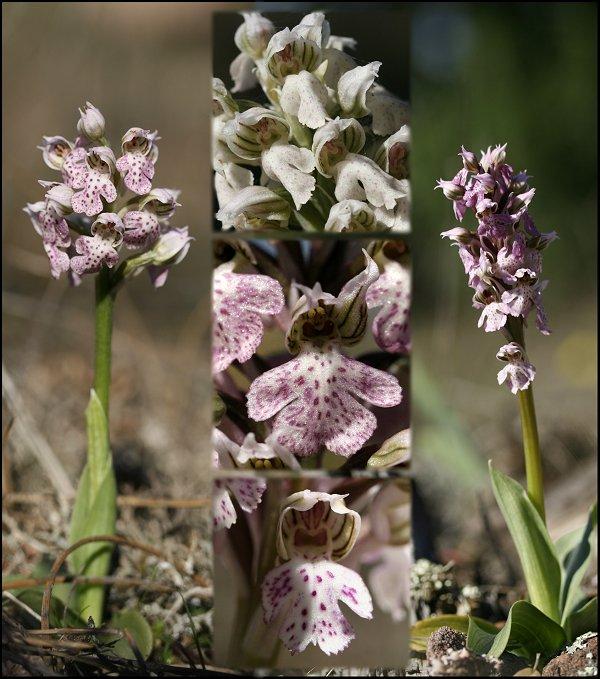 Neotinea lactea ( Orchis couleur de lait ) Neotin10