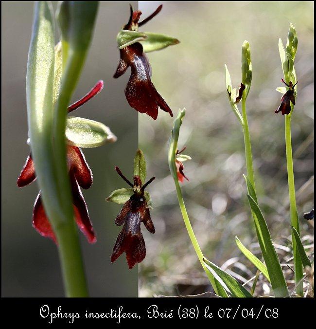 (IDENTIFICATION) Les Ophrys au nord de la Loire Ophrys35