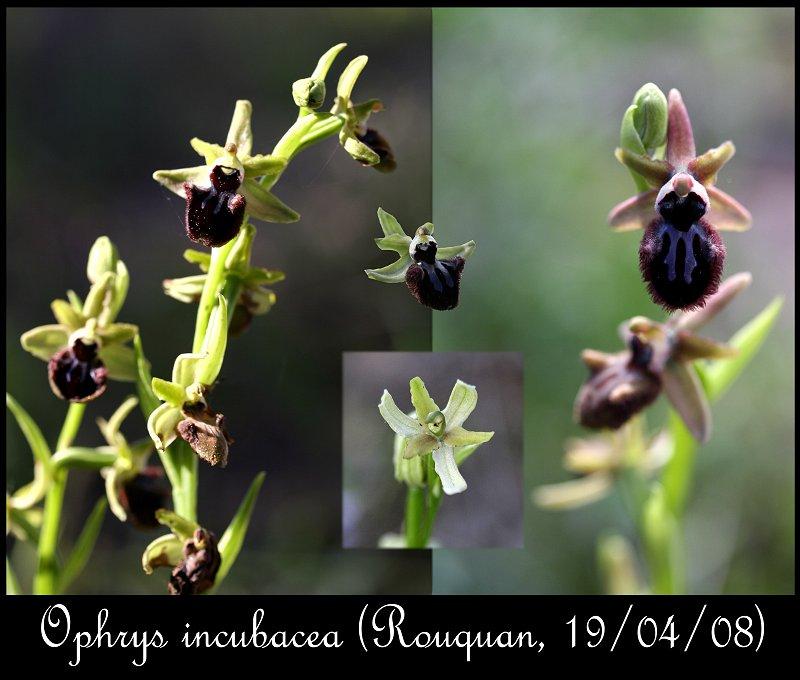 Ophrys incubacea ( Ophrys noir ) Ophrys42