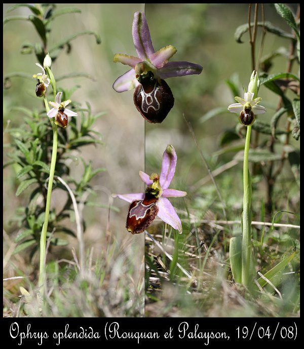 Ophrys splendida ( Ophrys brillant ) Ophrys43