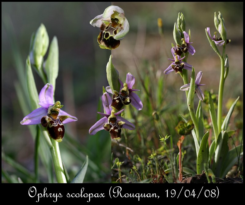 Ophrys scolopax ( Ophrys bécasse ) Ophrys44