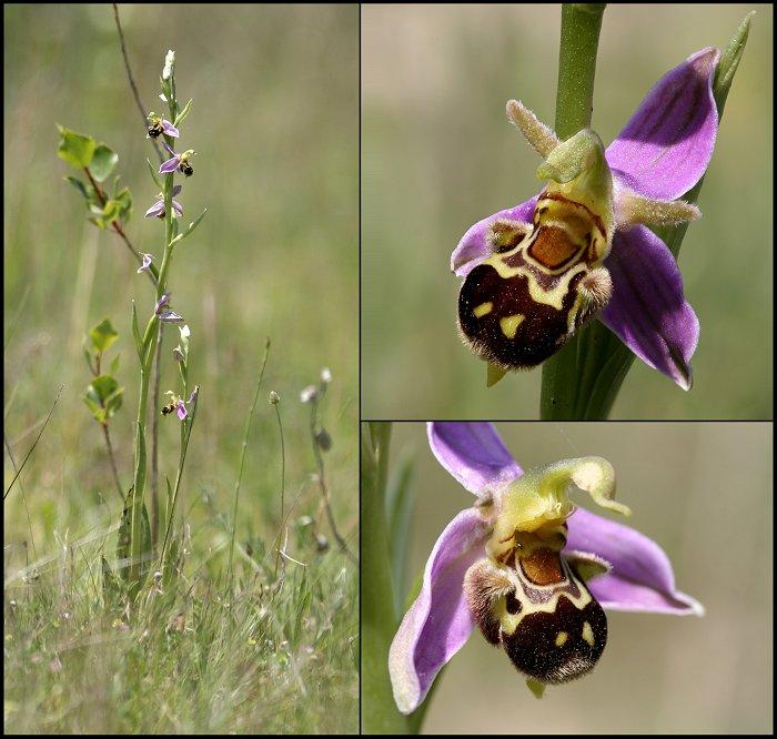 (IDENTIFICATION) Les Ophrys au nord de la Loire Ophrys49
