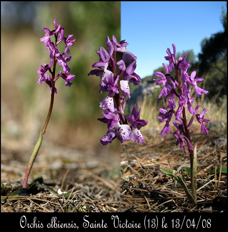 Orchis olbiensis ( Orchis d'Hyères ) Orchis11
