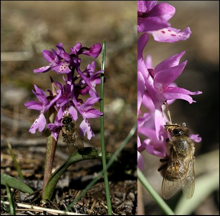 Orchis olbiensis ( Orchis d'Hyères ) Orchis12