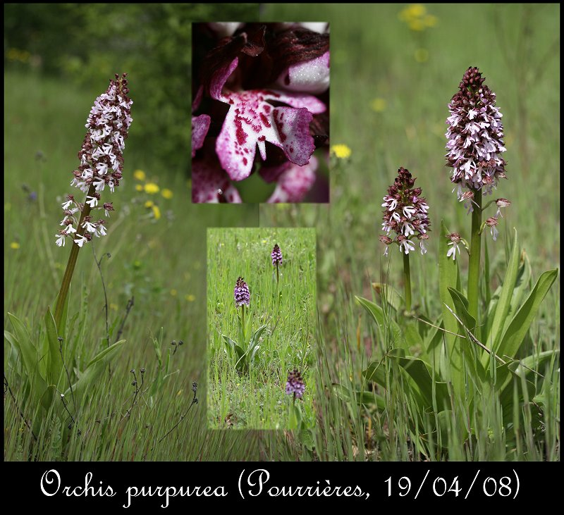 Orchis purpurea ( Orchis pourpre ) Orchis14