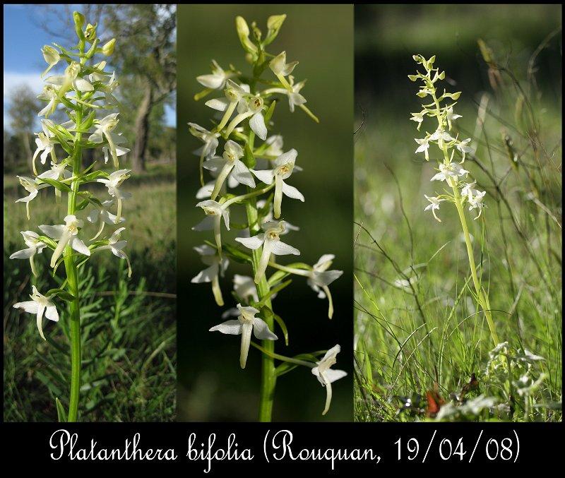Platanthera bifolia ( Platanthère à deux feuilles ) Platat10