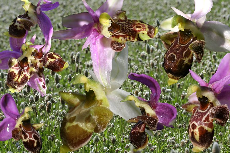 Ophrys scolopax ( Ophrys bécasse ) Scolop12