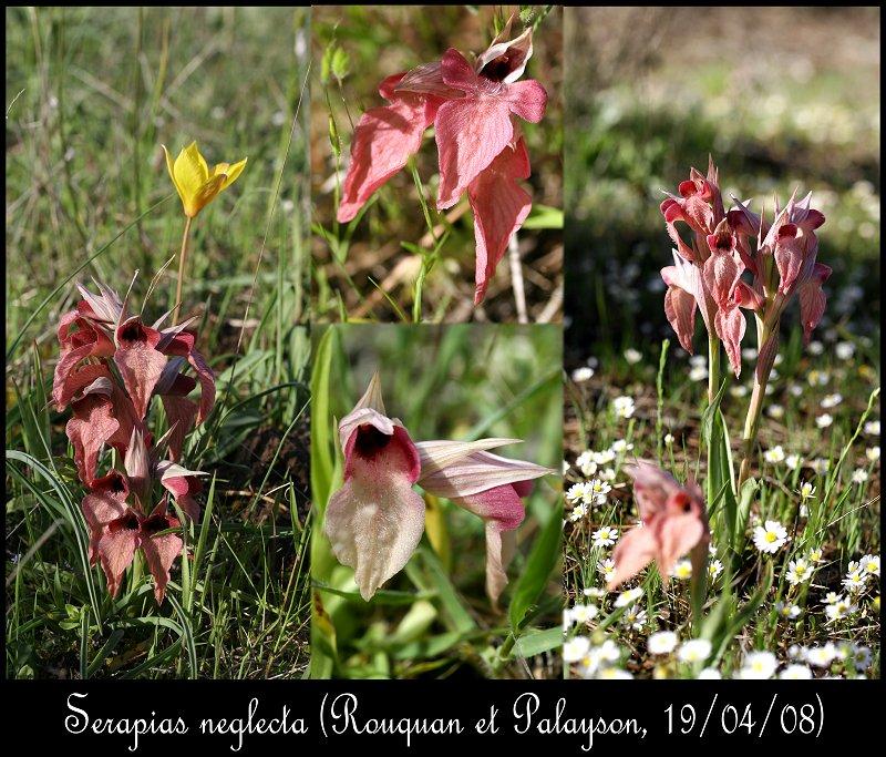 Serapias neglecta ( Sérapias méconnu ) Serapi11